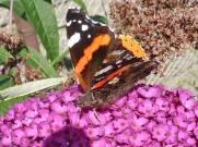 Schmetterling auf Schmetterlingsflieder 2