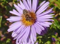 Herbstastern und die Bienen 12